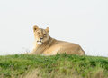 Lioness looks Alert Royalty Free Stock Photo