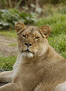 Lioness looks at the viewer Royalty Free Stock Photo