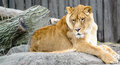 Lioness a lounges on some rocks and stares intently Royalty Free Stock Photography