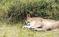 Lioness lounging by the trees is a picture taken in kenya Stock Photography