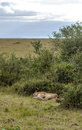 Lioness lounging by the trees is a vertical picture taken in kenya Royalty Free Stock Photos