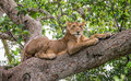 Lioness lying on a big tree. Close-up. Uganda. East Africa.