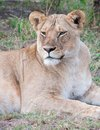 Lioness lying down looking alert Royalty Free Stock Photo