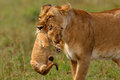 Lioness mother carries her baby to a new safe place in masai mara national reserve kenya Royalty Free Stock Photography
