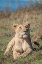 Lioness at Ngorongoro Crater Royalty Free Stock Photo