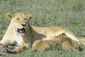Lioness nursing her cubs Royalty Free Stock Photo
