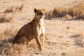 Lioness one standing alone in the sunset Royalty Free Stock Photo