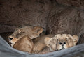 Lioness overview of the lionesses resting Stock Photo