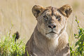 Lioness panthera leo portrait of a in the savannah in massai mara kenya scientific name Royalty Free Stock Photo
