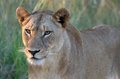 Lioness panthera leo walking in kruger national park south africa Stock Photography