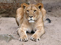 Lioness porrtait of a lying in the sand Stock Photos