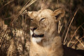 Lioness portrait Royalty Free Stock Images