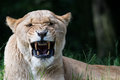 Lioness Portrait Royalty Free Stock Photo