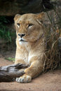 Lioness portrait closeup of adult female Stock Photography