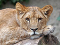 Lioness portrait of a lying on a tree Stock Image