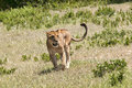 Lioness on the prowl in tanzania captured while safari Stock Photo