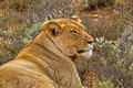 Lioness with Radio Collar Lying among Shrubs Royalty Free Stock Photo