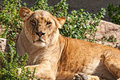 Lioness resting and looking at the camera Royalty Free Stock Images