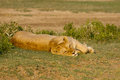 Lioness resting in the savannah Stock Photos