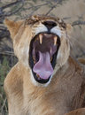 Lioness in Savuti in Botswana Stock Image