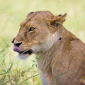 Lioness in the Serengeti Stock Images