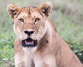 Lioness in serengeti looking at the camera game reserve tanzania Royalty Free Stock Photography