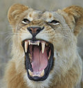 Lioness showing teeth Royalty Free Stock Photo