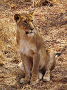 Lioness Sitting up Stock Photography