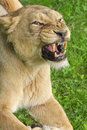 Lioness snarling showing it s teeth Stock Photo