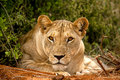 Lioness staring at viewer with head resting on paws Stock Images