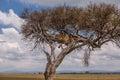 Lioness In Tree, Masai Mara La...