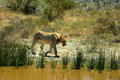 Lioness walking by river Royalty Free Stock Photos
