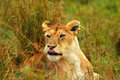 Lioness in the wild Royalty Free Stock Photography