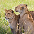 Lionesses in the Serengeti Stock Photography