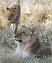 Lionesses in wilderness Royalty Free Stock Photography