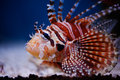 Lionfish Stock Photos