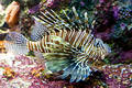 Lionfish Royaltyfri Foto