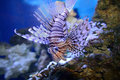 Lionfish Royalty Free Stock Photo