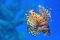 Lionfish in an aquarium close up view of with blue background Stock Photo