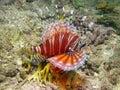 Lionfish da zebra Imagem de Stock Royalty Free