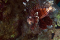 Lionfish in DE Red Sea. Royalty-vrije Stock Fotografie