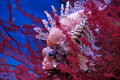 Lionfish (Dendrochirus brachypterus) Royalty Free Stock Photography