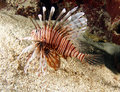 Lionfish or devil firefish,roatan,honduras Stock Photos