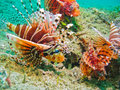 Lionfish Nest, Limbeh Strait, Sulawesi, Indonesia Royalty Free Stock Images
