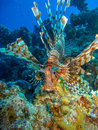 Lionfish over coral reef Royalty Free Stock Photo