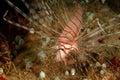 Lionfish perhentian island terengganu closeup of aquatic Royalty Free Stock Photo
