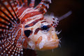 Lionfish portrait Stock Photo