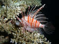 Lionfish (Pterois) Photographie stock
