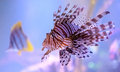 Lionfish pterois commonly known as a venomous marine fish found mostly in the indo pacific Royalty Free Stock Photo