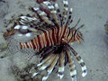 Lionfish (Pterois miles) Stock Photos